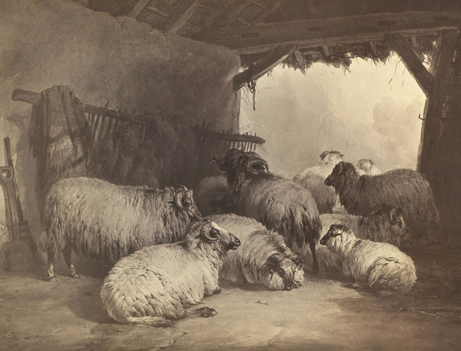 'Sheep'