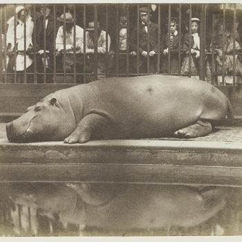 Photograph of Obaysch, the Hippopotamus, photographed lying down with his eyes closed. Behind the bars to the Hippopotamus House stand observers.  Obaysch was London Zoo's first hippopotamus. He arrived at London Zoo on 25 May 1850. He proved to be very p
